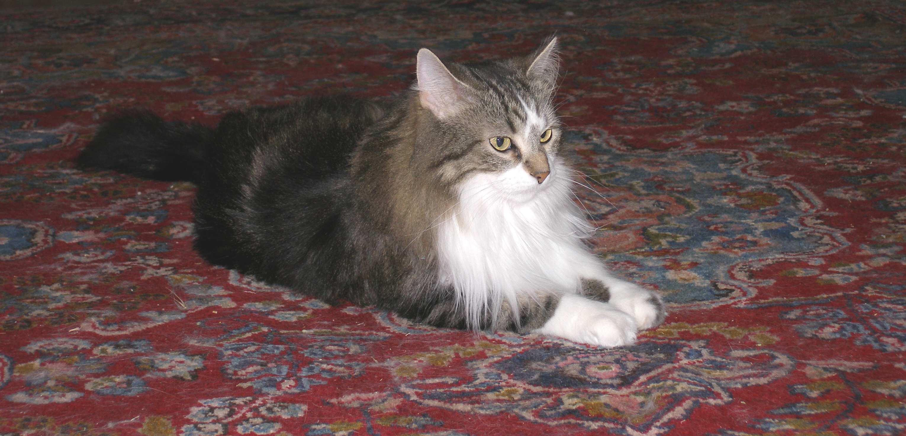 About – Indra's Net Maine Coon Cats