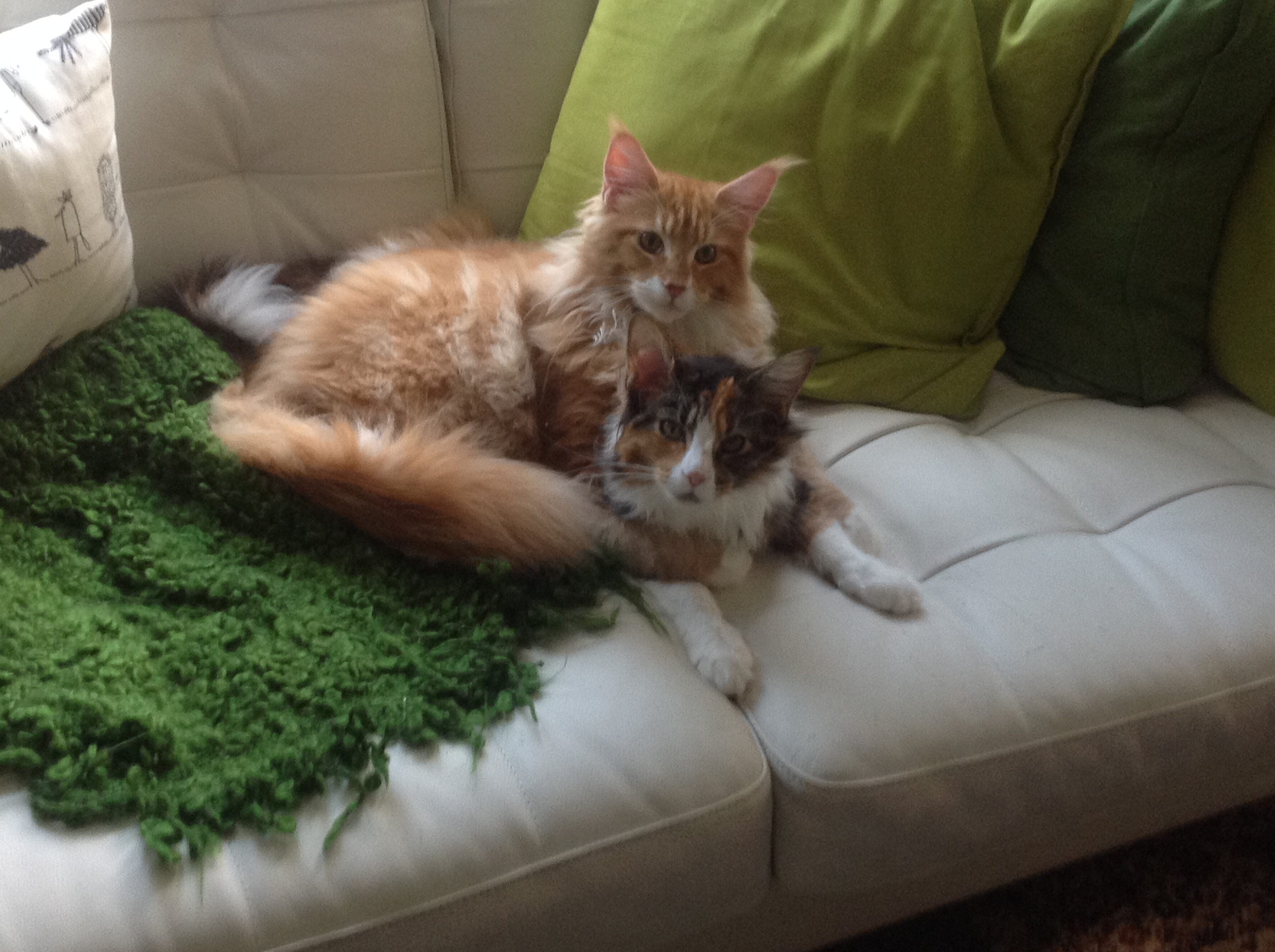 Indra's Net Maine Coon Cats