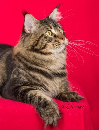 Retired Breeding Cats – Indra's Net Maine Coon Cats